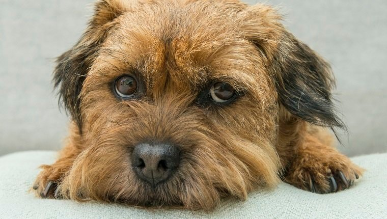 Border Terrier dog lying with chin on cushion, looking guilty, Norfolk UK