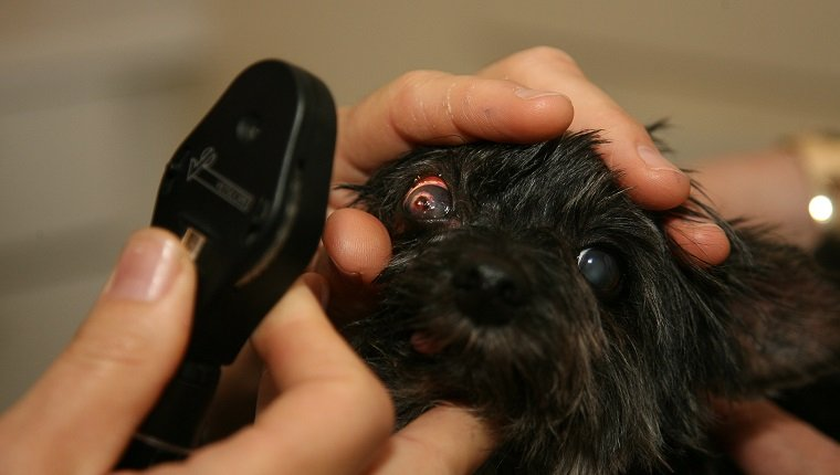 Pupillary light reflex in dog (Canis lupus familiaris) being checked by vet