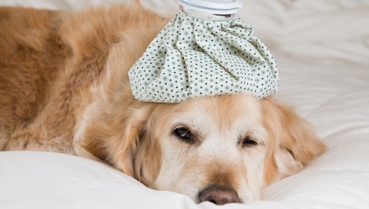 Golden Retriever Dog with pneumonia convalescing in bed