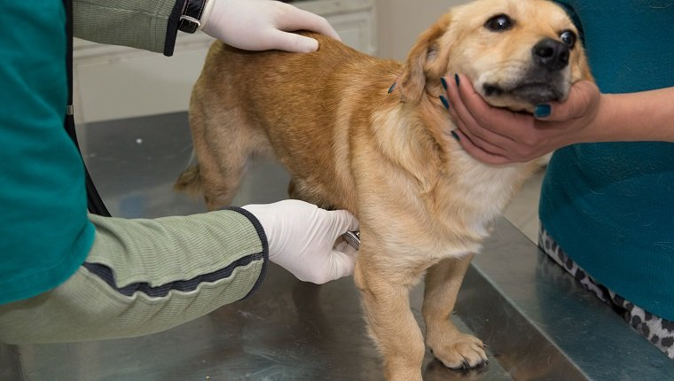 Veterinarian examining a dog from a shelter.