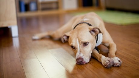 Meloxicam (Metacam) For Dogs: Uses, Dosage, & Side Effects