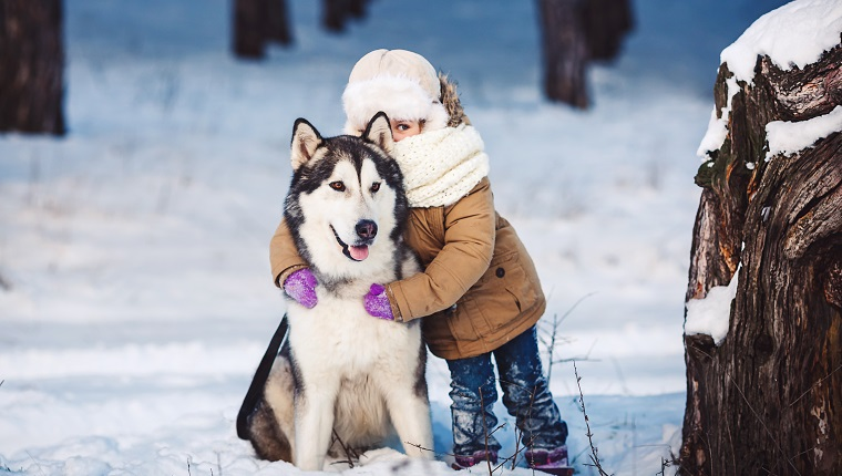 Funny little girl hugging her big Malamute dog in winter in the forest. The girl looks out with one eye because of the dog's ear. Concept of friendship of man and dog. The concept of winter holidays. Photo with background blur