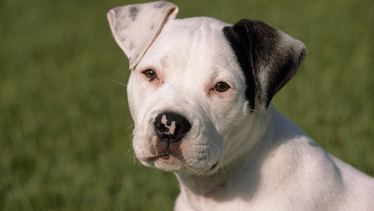 Portrait of American Bulldog puppy at twelve weeks old (PR)