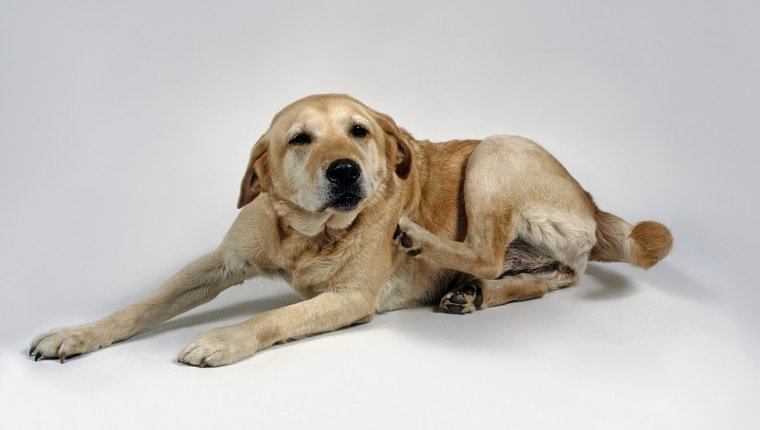 Yellow Labrador Retriever lying down scratching usings hind leg