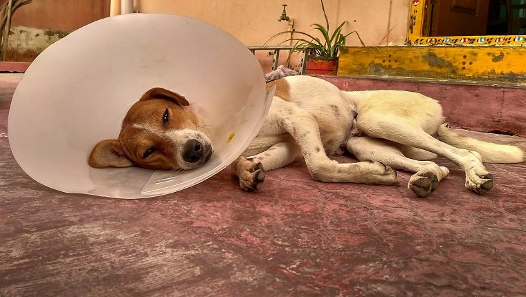 Dog Resting On Ground Wearing A Cone