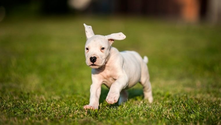 Cute Puppy in Full Speed :) It`s a Argentinian Dog/Dogo Argentino Puppy