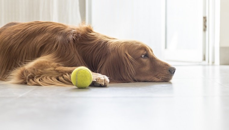 Indoor shooting golden retriever