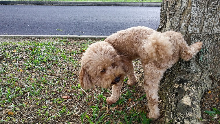 Male poodle dog pee on tree trunk to mark his territory