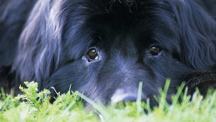 Close-up of Newfoundland dog, Canada.