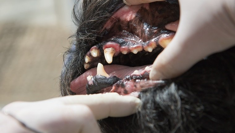 The vet is showing gingivitis in the open mouth of the Big Black Schnauzer dog under anesthesia.