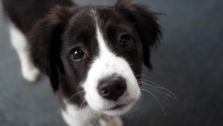 """A puppy gives you the sad eyes, shallow DOF."""