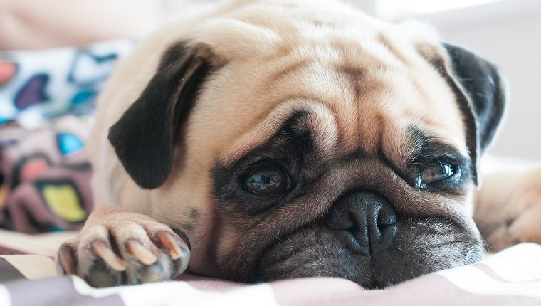 Close up face of Cute pug puppy dog sleeping rest relax on the bed