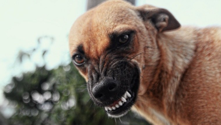 Close-Up Portrait Of Brown Dog Snarling