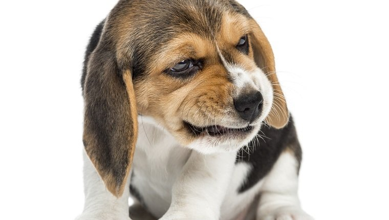 Front view of a beagle puppy sitting, making a face, isolated on white.