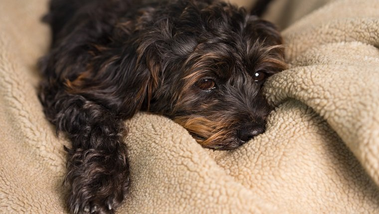 Small Black Shih Tzu mix breed dog canine lying down on soft blanket bed while uncertain alone sick bored lonely depressed ill tired exhausted worn out