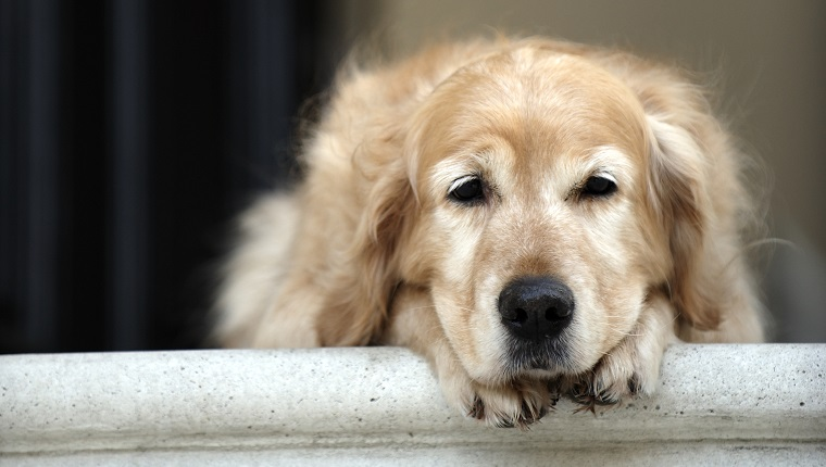 Golden retriever dog lying in front door of house, looking away (focus on foreground)