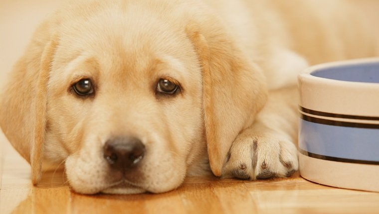 Metoclopramide For Dogs: Uses, Dosage, & Side Effects - Dogtime