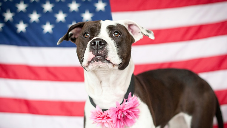 A patriotic black and white Pit Bull stands in front of the American flag.