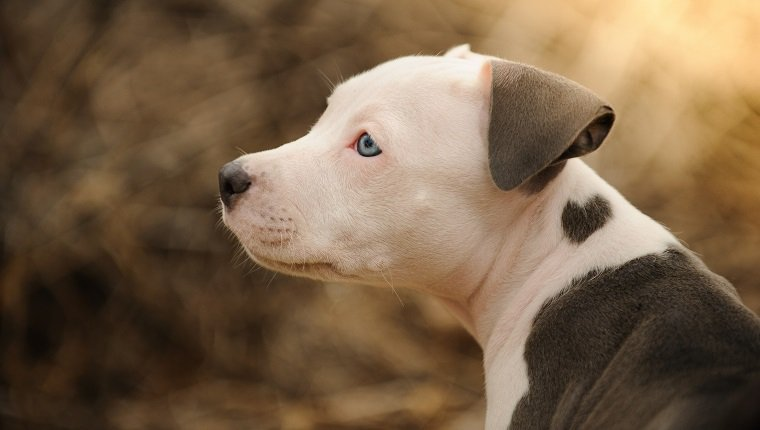 American Pit Bull Terrier dog, Pit Bull puppy with heart shape mark on neck