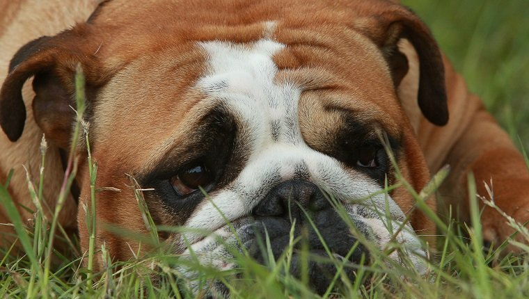 English Bulldog (Canis lupus familiaris) resting