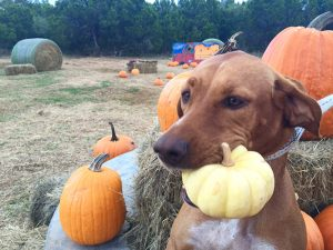 Pumpkin For Dogs: Can Dogs Eat Pumpkin?