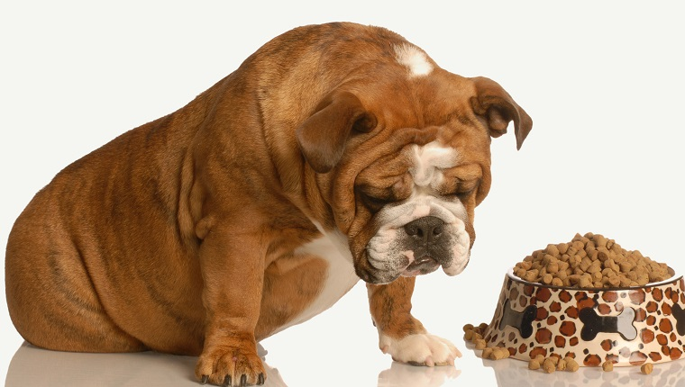 finicky or picky bulldog pouting beside full bowl of dog food