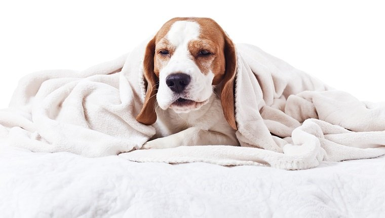 Can Fever Cause Dehydration In Dogs