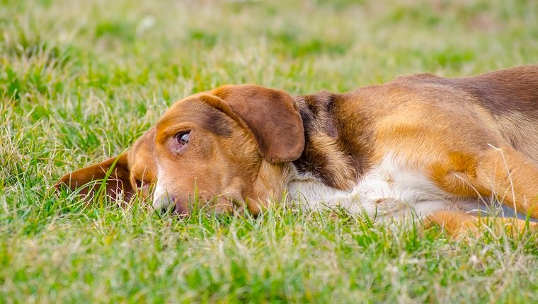 Sleepy dog with orange reddish fur lying in the grass