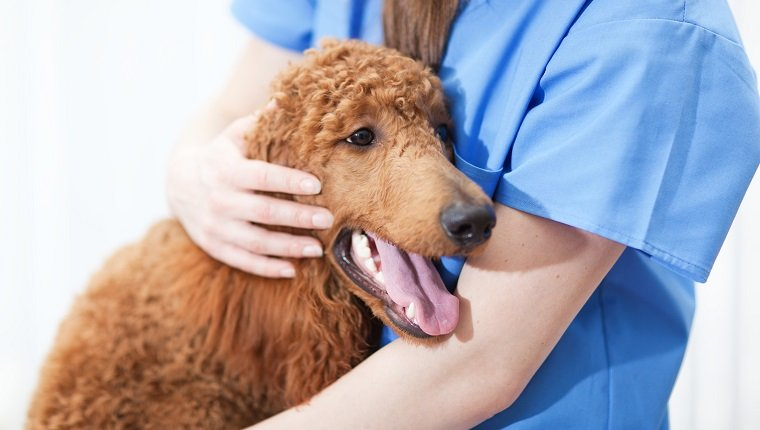 An unrecognized caucasian woman veterinarian comforting a dog patient with discomfort. The veterinarian is comforting the dog, a red standard poodle puppy, which is sick and unhappy. Photographed close-up in a animal pet clinic hospital examining room in a horizontal format.