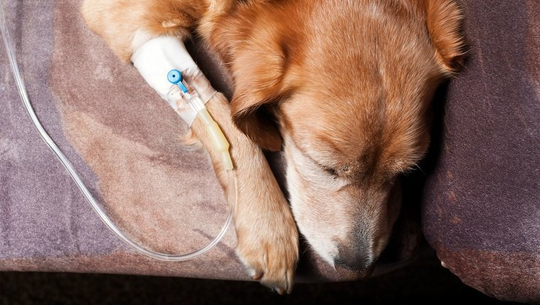 dog lying on bed with cannula in vein taking infusion