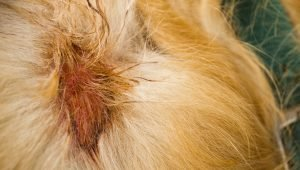 Eczema In Dogs: Symptoms, Causes, & Treatments