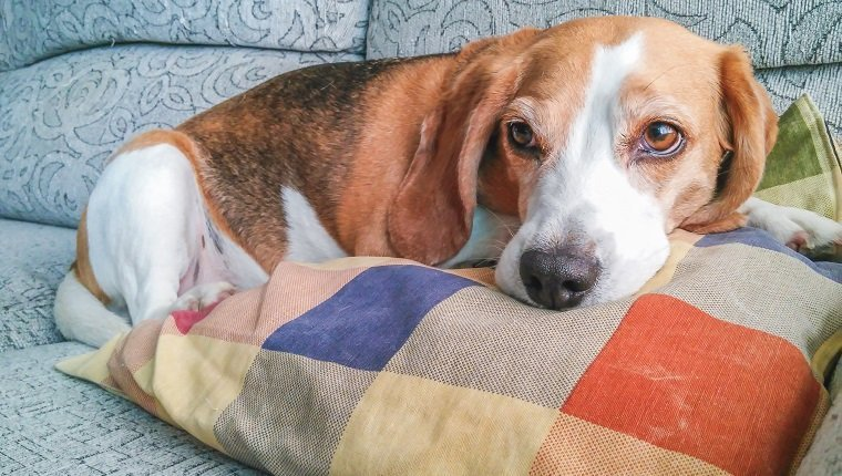 A beagle dog resting in the sofa