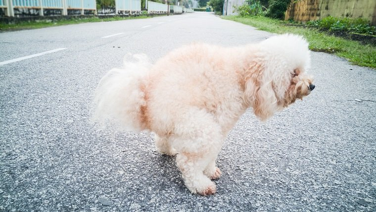 Pet poodle dog pooping on street in neighborhood