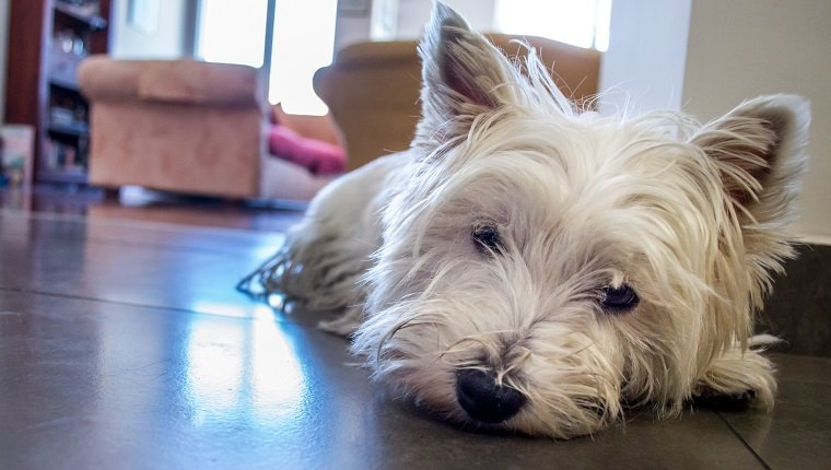 A white West Highland terrier dog looking rather sad, or possibly just tired.