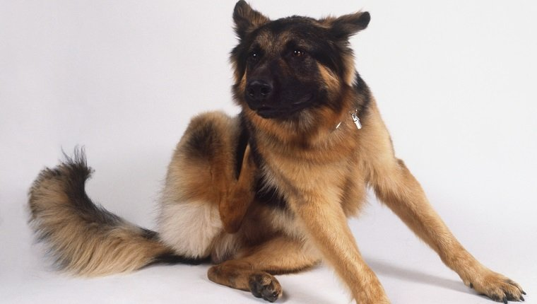 German Shepherd Dog itching