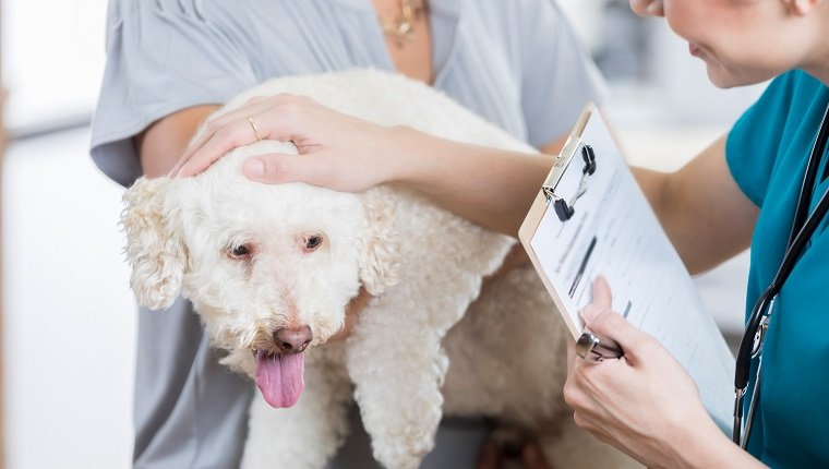An adorable small white dog is held by her unrecognizable owner as she answers intake questions by an unrecognizable vet tech. The vet tech holds a clipboard. She strokes the dog and speaks to her to put her at ease. Cyclosporine for dogs.