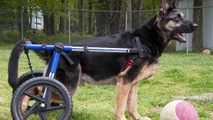 Degenerative Myelopathy In Dogs: Symptoms, Causes, & Treatments