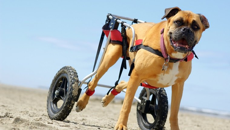 Degenerative Myelopathy In Dogs Symptoms Causes Amp Treatments Dogtime