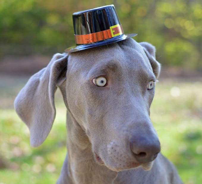"In this image, my pet Weimaraner is outside in the fall wearing a pilgrim Thanksgiving hat. This image is part of my ""Thomas Hats"" series which is holiday/season themed."