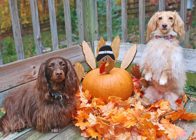 Dachshunds next to pumpkin decorated as a Thanksgiving turkey with fall leaves on a deck.