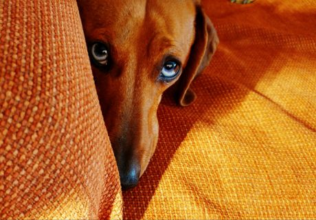 DogSpeak: Dogs And The Guilty Look
