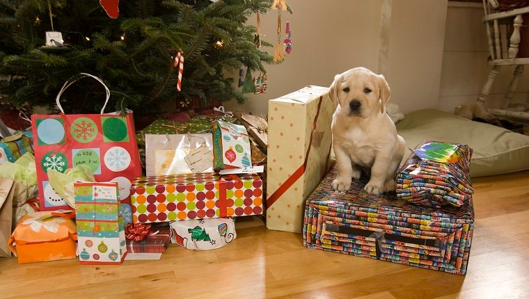 A puppy sits amongst Christmas presents in Lovell, Maine.