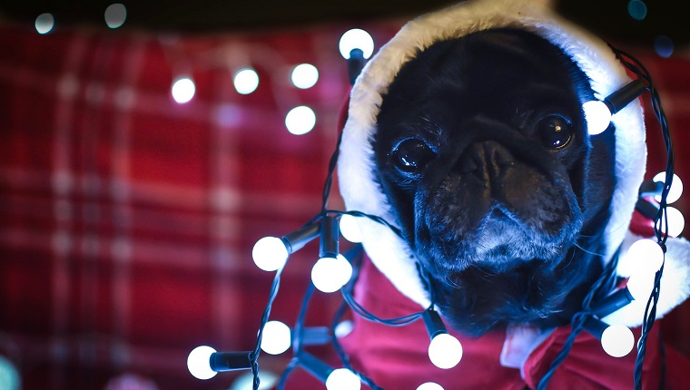 Pug with Christmas lights.