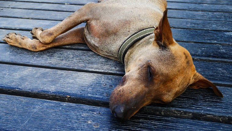 Focus face old dog sleep on wood floor in hot weather