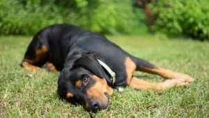 Metabolic Acidosis In Dogs: Symptoms, Causes, & Treatments