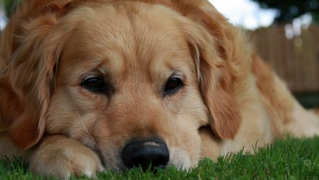 Myocarditis In Dogs: Symptoms, Causes, & Treatments