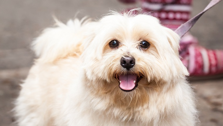 Best Dog Food For Lhasa Apso