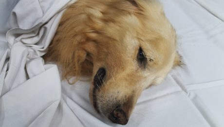 Septicemia & Bacteremia In Dogs: Symptoms, Causes, & Treatments