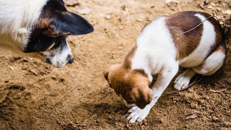 A mother dog watches her puppy (with white and brown fur) playing in the soil