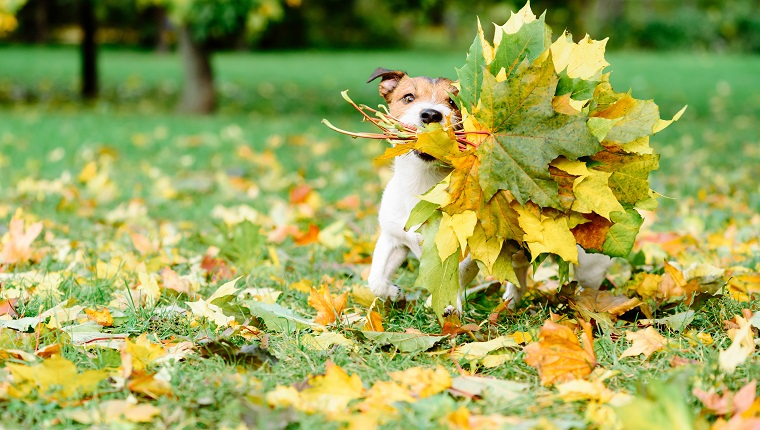 Dog running with autumnal bouquet